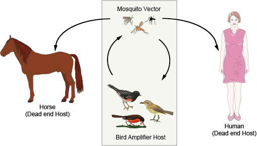 West Nile Virus Infection transmission cycle
