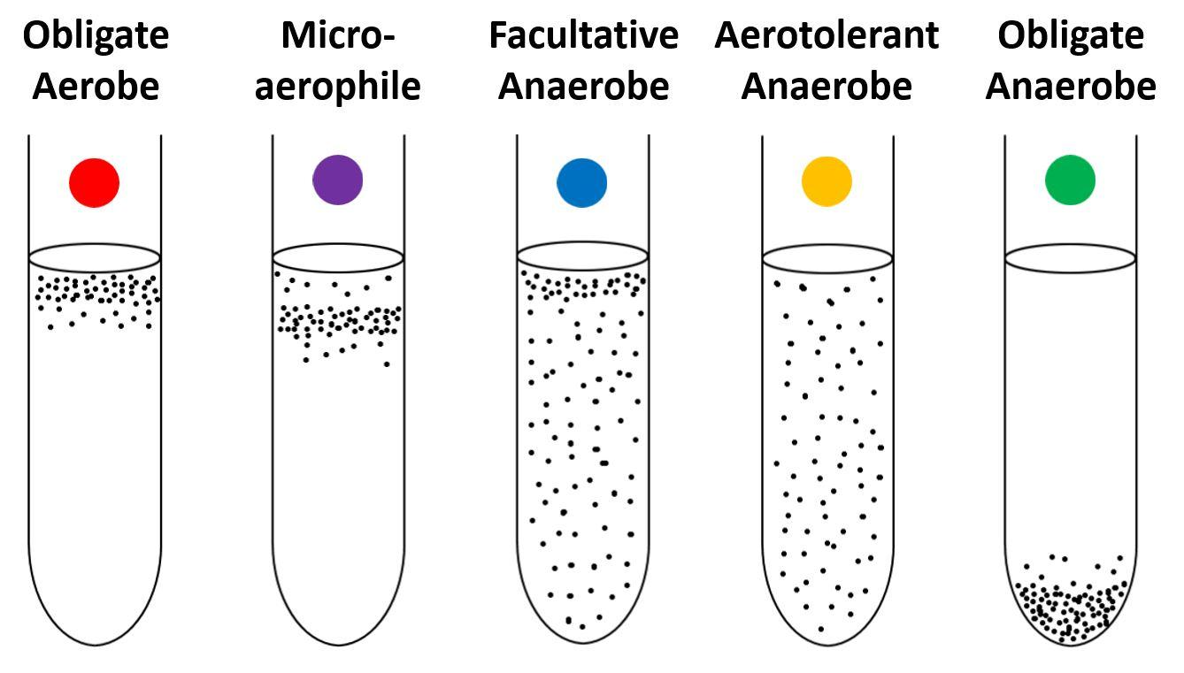 【Facultative Anaerobes】: A Close Study