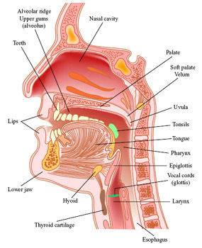 Image result for MEDICAL diagram of throat