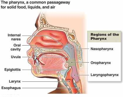 Throat Anatomy Understanding The Basics Of It With Diagrams