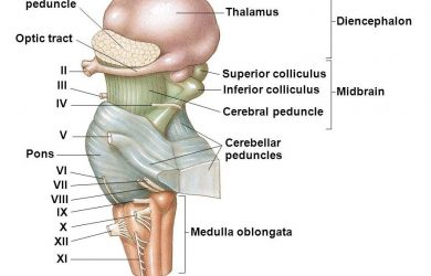 cerebral peduncle. Structure of the cerebral peduncle? Functions of the cerebral peduncle