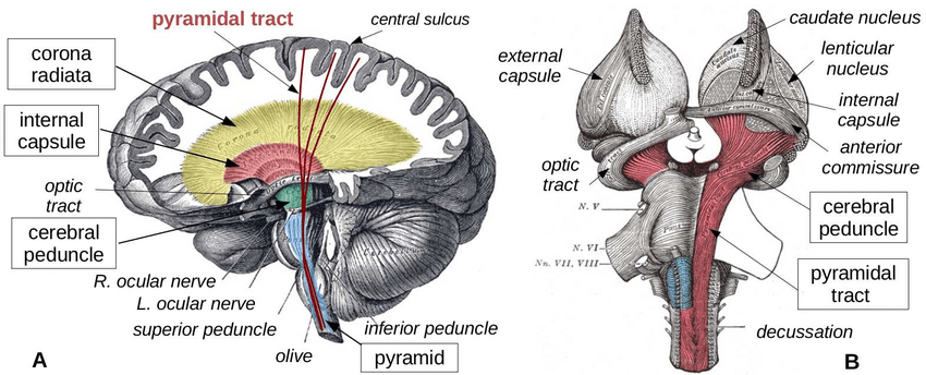 cerebral peduncle. Structure of the cerebral peduncle? Functions of the cerebral peduncle